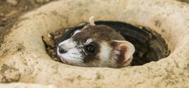 exhibit-black-footed-ferrets